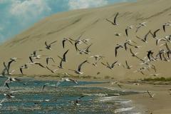 Kurshskaya kosa birds, Kaliningrad Oblast