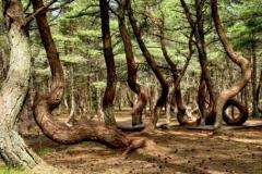 Kurshskaya kosa twisted forest, Kaliningrad Oblast