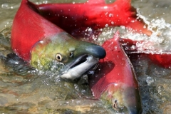 Pacific salmon in Kamchatka rivers