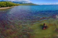 Salmon thriving in lake Kuriloskoye