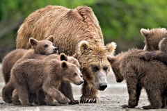 Bears of lake Kurilskoye