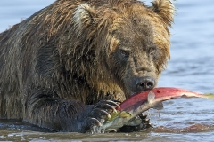 Kamchatka brown bear feeding on Pacific salmon