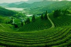 Tea plantations at Dagomys